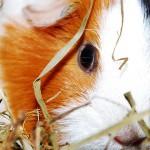 The guinea pig advisor