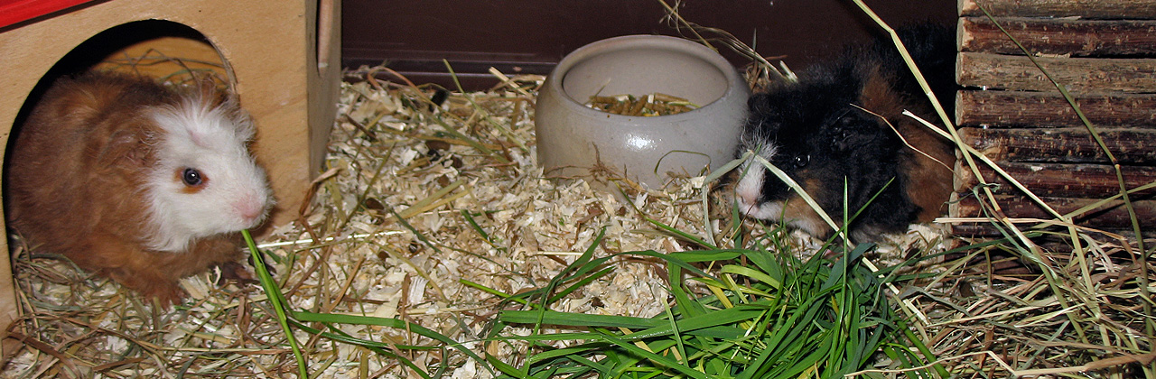 Babys in the cavy cage