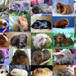 Guinea Pig genetics