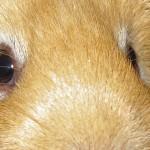 Guinea Pig physiology