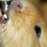 Water for Guinea Pigs