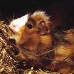 Abyssinian Cavy Breed