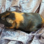 American Cavy Breed
