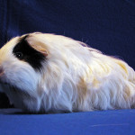 Silkie cavy breed