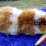 Somali cavy breed