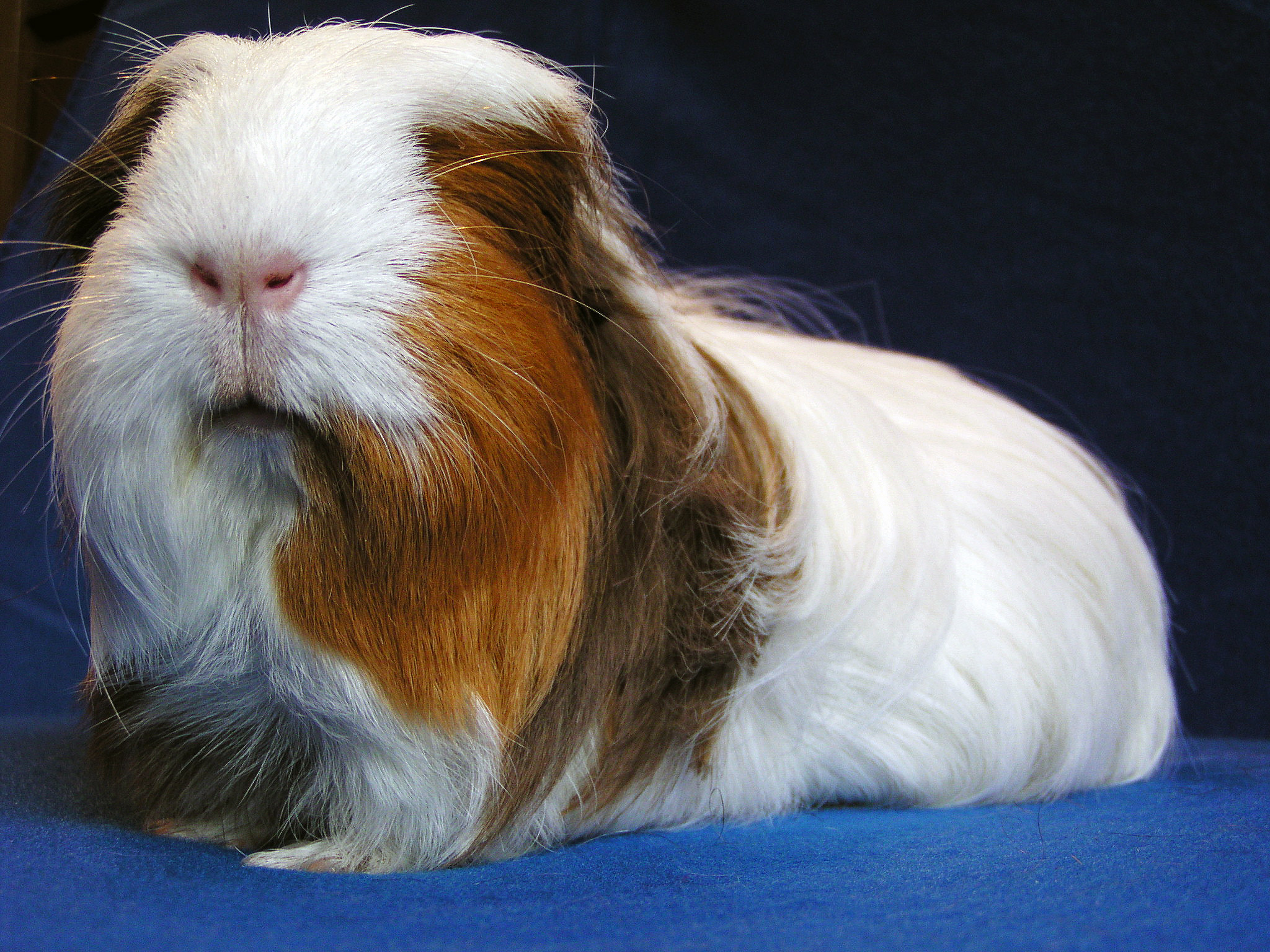Long haired guinea pig - photo#31