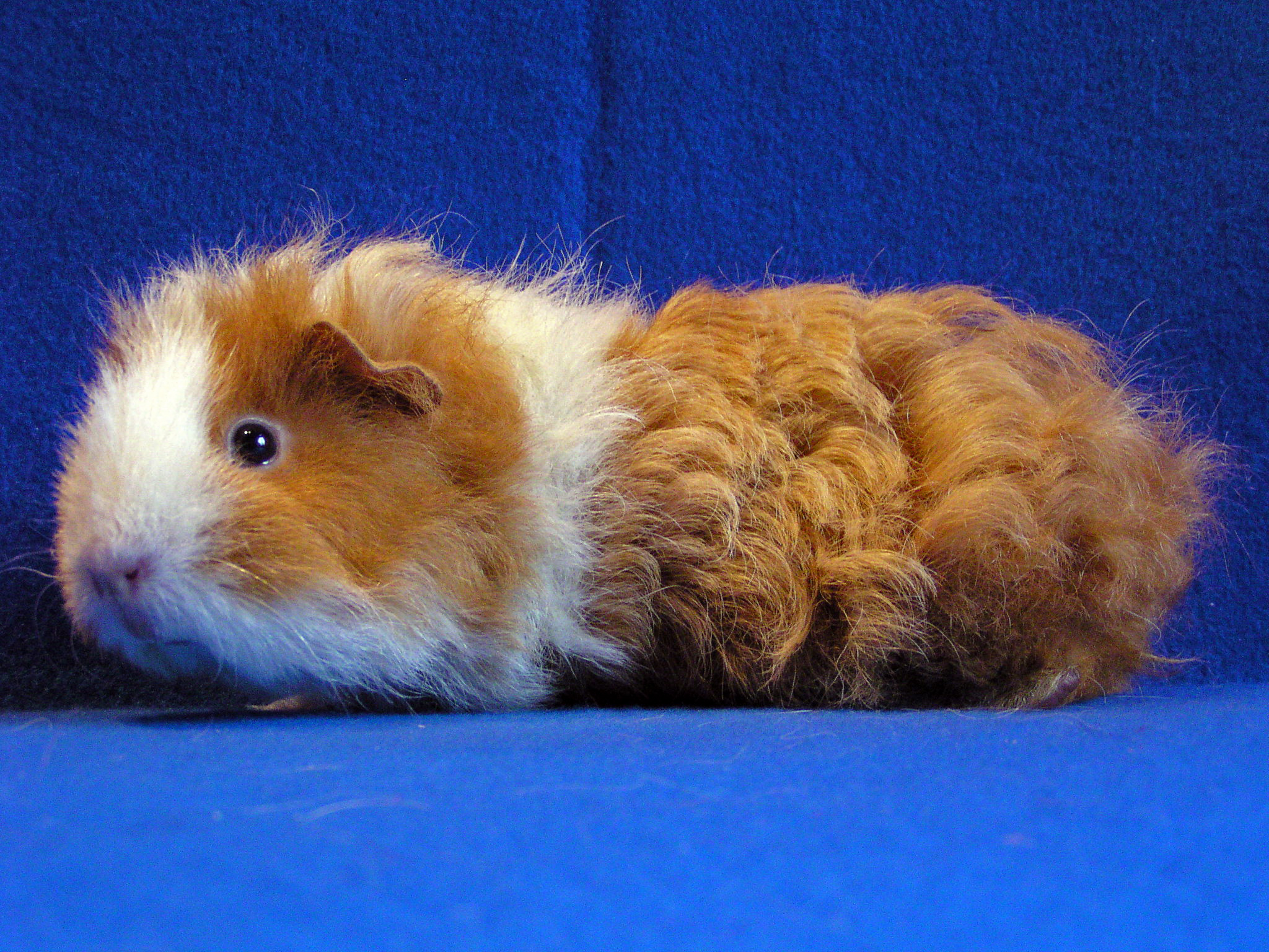 All types of Guinea Pig breeds described and help to