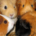 Guinea Pigs are pack animals an need company