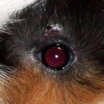Mites at Guinea Pig eye