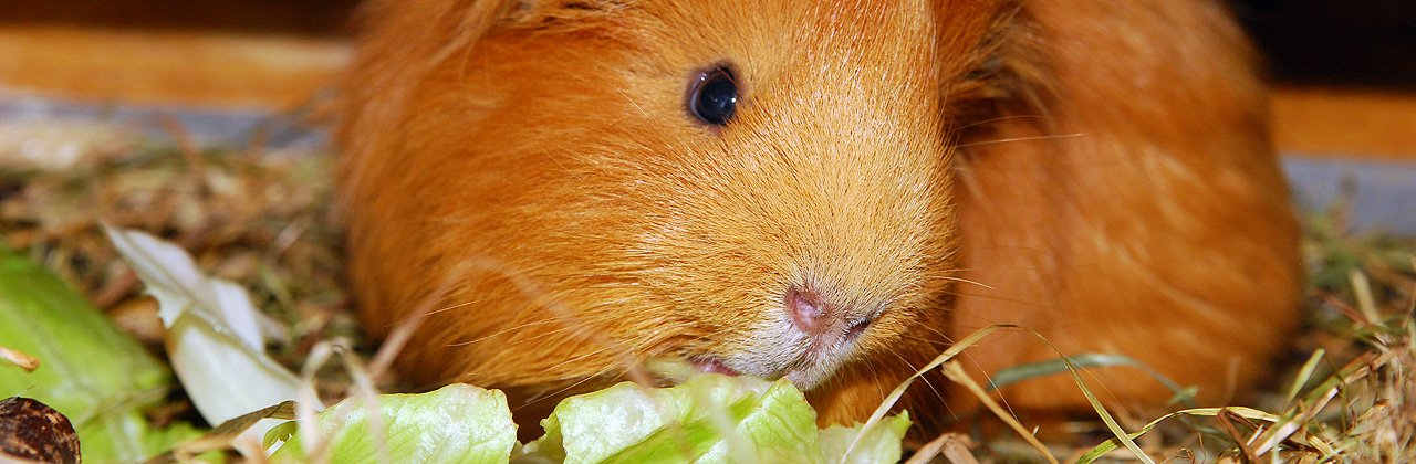 Pros and cons about Guinea Pigs