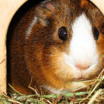 Guinea Pigs as pets for childs?
