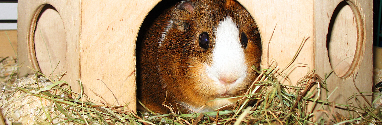 Guinea Pigs - best buddies for children?