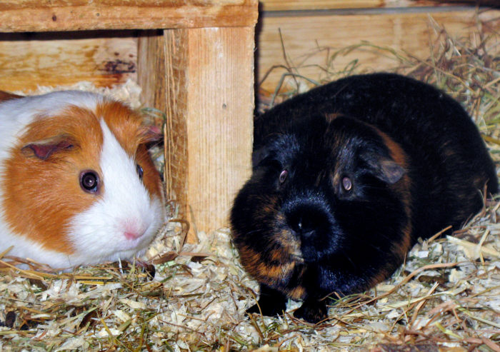Social interacting Guinea Pigs - no cuddleing, no licking - always on short distance